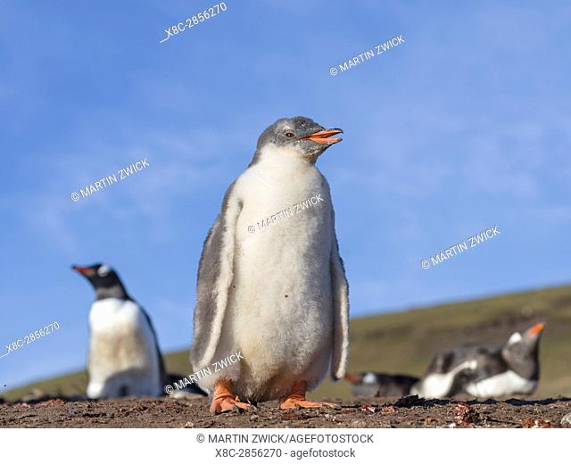 Gentoo Penguin (Pygoscelis papua), Falkland Islands. Chick. South America, Falkland Islands, January