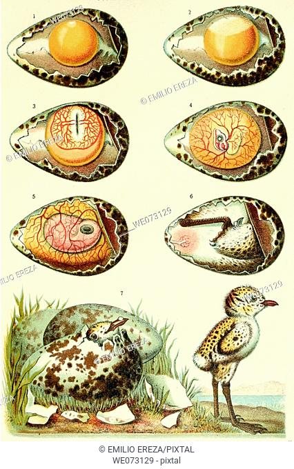 Bird embryo development, old illustration, Diccionario Salvat Enciclopédico Popular Ilustrado. Inventario del Saber Humano. 1914-1920