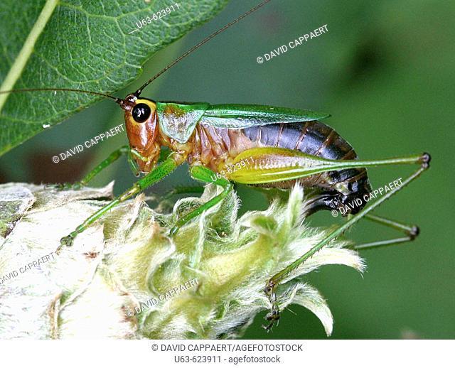 Black-sided meadow katydid, Conocephalus Nigropleurum. Michigan, USA