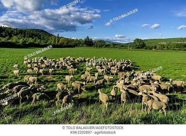 Flock of sheep. Luberon Regional Park (Parc naturel régional du Luberon). Provence, France