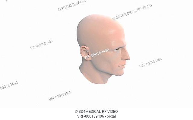 Animation depicting a rotation of the head which is sectioned, revealing the interior median section of the pharynx and nasopharynx
