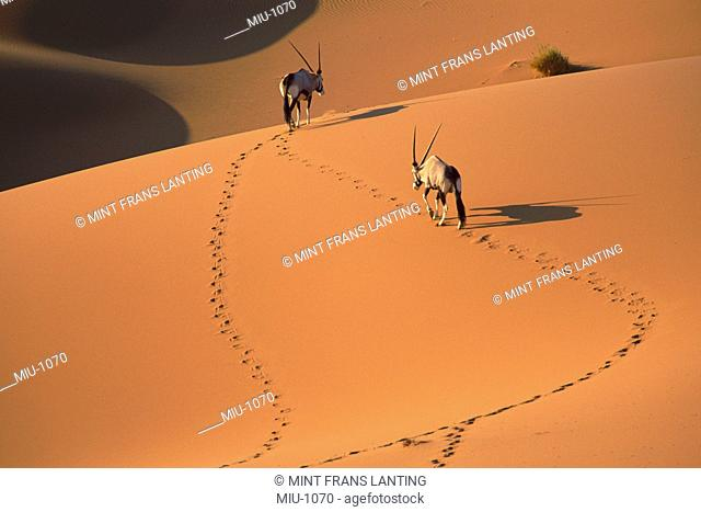 Gemsbok in sand dunes, Oryx gazella, Namib-Naukluft National Park, Namibia