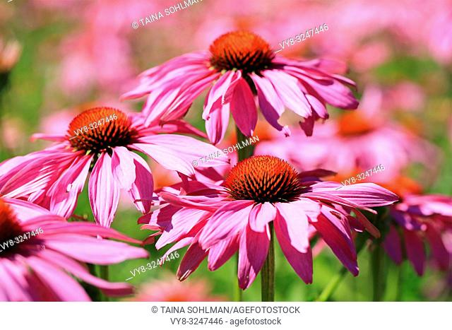 Flowers of Echinacea purpurea or Eastern Purple Coneflower blossoming in the garden at summer