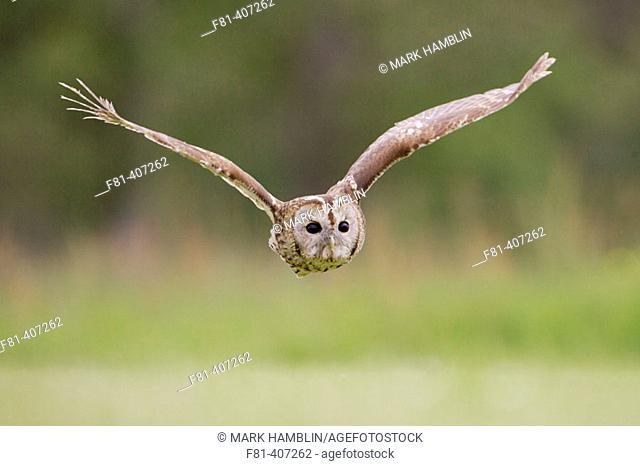 Tawny Owl (Strix aluco) adult in flight, Scotland, UK