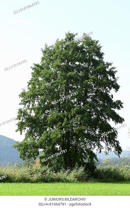 European alder, Black alder (Alnus glutinosa) in summer