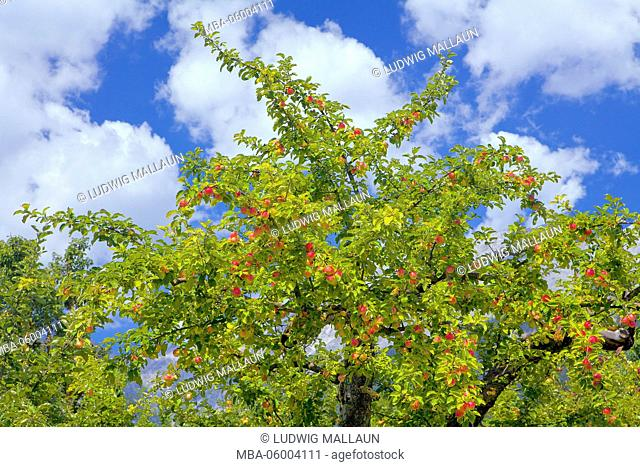Apple-tree with fruits