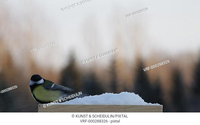 A great tit (Parus major) is waiting at a snow covered birdfeeder. Then a man comes to feed the birds. Suddenly the air is full of wings: great tits
