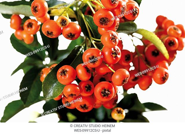 Fire thorn Pyracantha, close-up