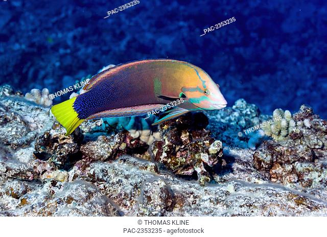 Underwater view of an adult male Yellowtail Coris at Molokini Crater; Maui, Hawaii, United States of America