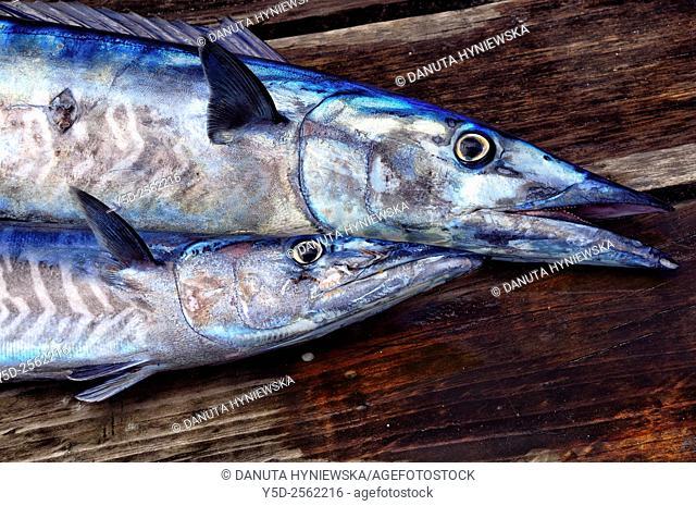 Two fishes caught in deep Ocean - Wahoo - Acanthocybium solandri, Africa, Mascarene, Mascarene Islands , Mascarenhas , Mauritius, Northern Mauritius