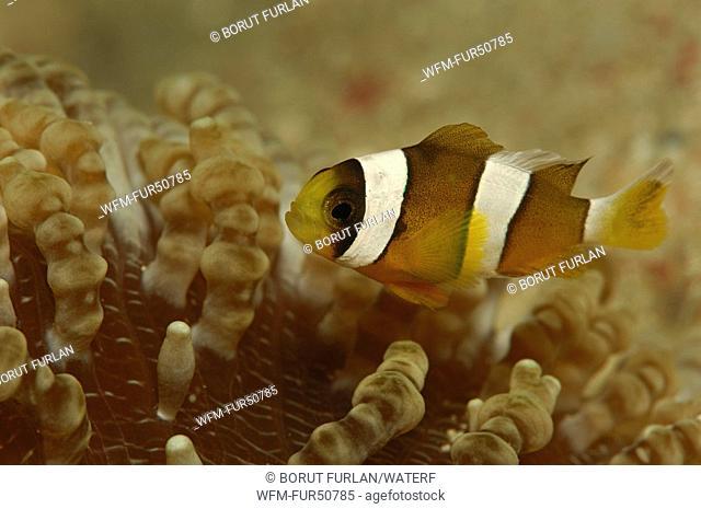 Clarks Anemonefish in Beaded Sea Anemone, Amphiprion clarkii, Heteractis aurora, Alor, Lesser Sunda Islands, Indo-Pacific, Indonesia