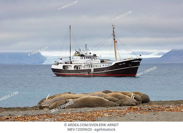 Walrus - group resting on beach with ship in the background - Svalbard, Norway