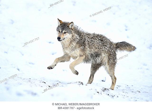 One-year old Eastern Wolf, Eastern timber wolf (Canis lupus lycaon), Young animal running in snow, Baden-Württemberg, Germany