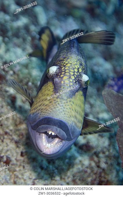 Titan Triggerfish (Balistoides viridescens) showing teeth, Whale Rock dive site, Fiabacet Island, Raja Ampat, West Papua, Indonesia