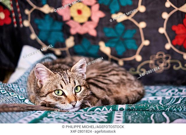 Mongolia, Bayan-Olgii province, cat in a Kazakh family
