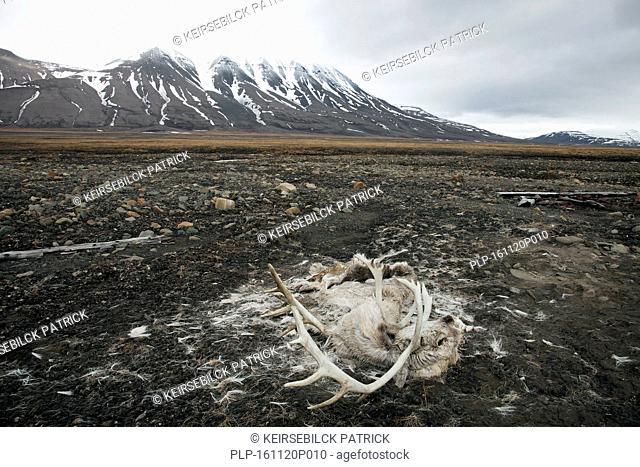 Carcass of Svalbard reindeer (Rangifer tarandus platyrhynchus) perished on the tundra near Longyearbyen, Svalbard / Spitsbergen