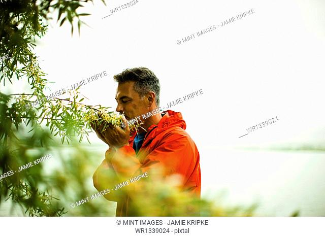 A man in a red jacket breathing in the aroma of fragrant yellow flowers of a shrub