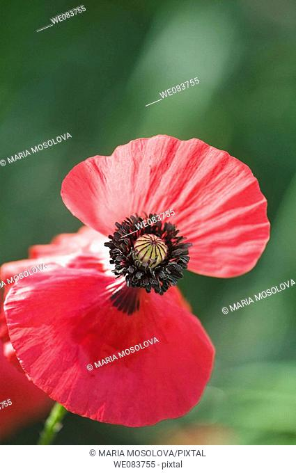 Red Shirley Poppy. Papaver rhoeas