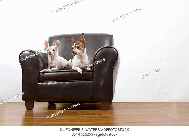 Two chihuahuas sit on a leather chair indoors
