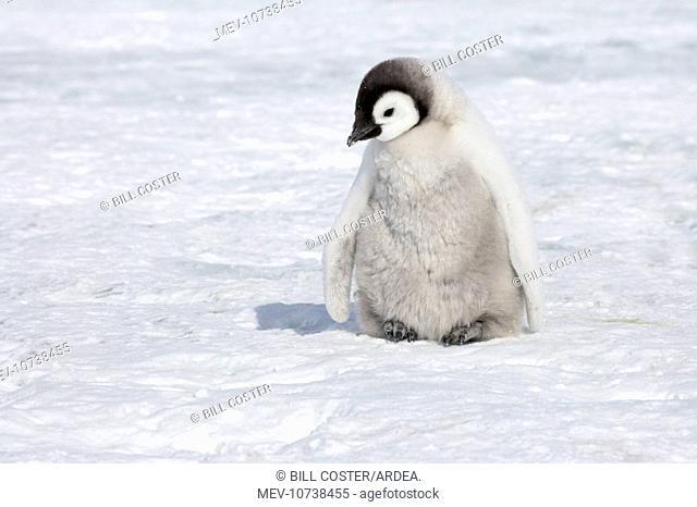 Emperor Penguin - Chick on Sea Ice (Aptenodytes forsteri)