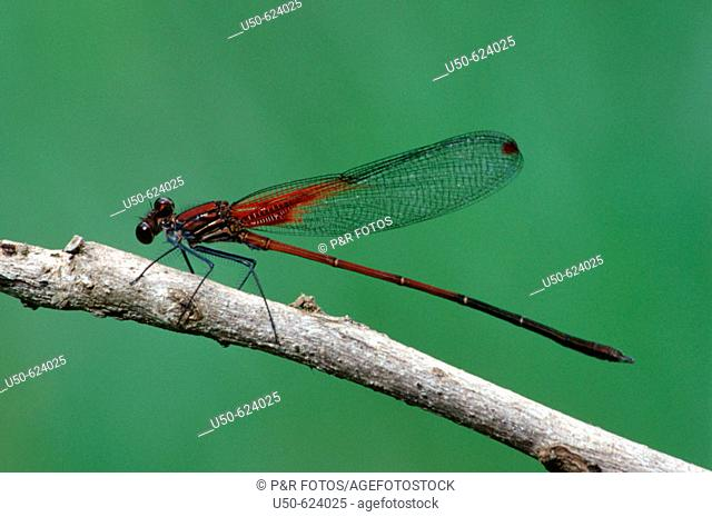 Damselfly, Rubyspot, dragonfly, Hetaerina rosea,  Calopterygidae, Odonata,  Luís Antônio. Sao Paulo, Brazil