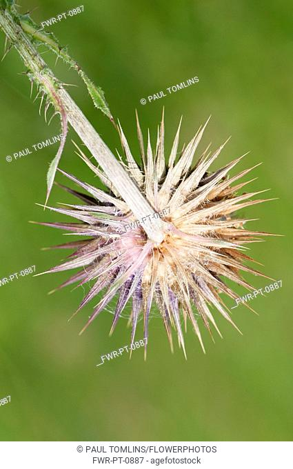 Musk thistle, Carduus nutans, spikey flowerhead seen from behind