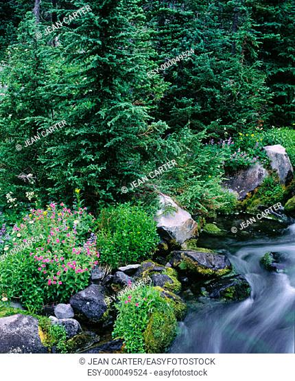 Wildflowers along Paradise Creek, Mt. Rainier National Park. Washington, USA