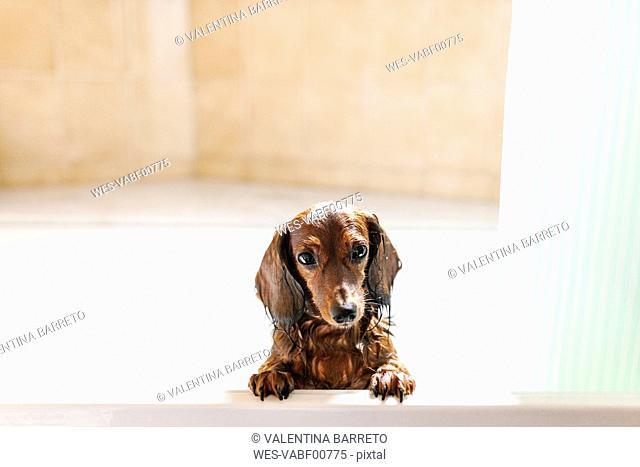 Wet dachshund