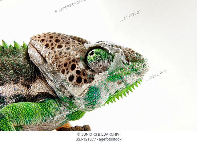 giant chameleon - cut out / Chamaeleo verrucosus