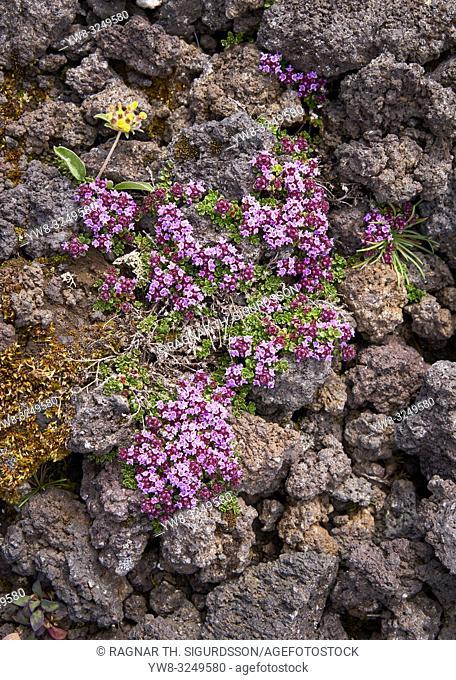 Thyme, (Thymus praecox arcticus) and lava rock, Reykjanes Peninsula, Iceland