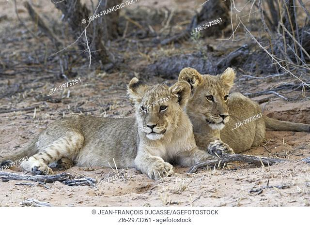 African lions (Panthera leo), two cubs lying on sand at dusk, Kgalagadi Transfrontier Park, Northern Cape, South Africa, Africa