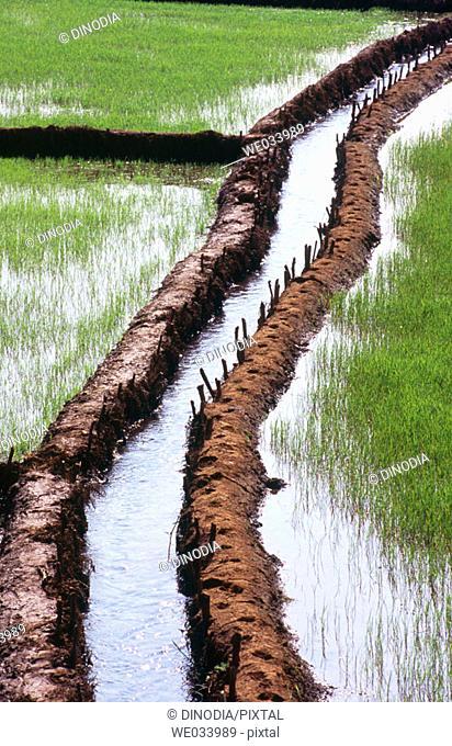Water flowing through paddy field. Amboli. Maharashtra. India