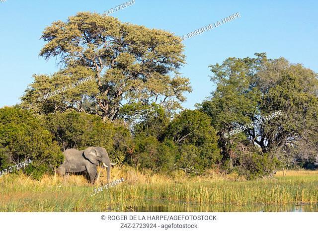 African bush elephant (Loxodonta africana). Okavango Delta. Botswana