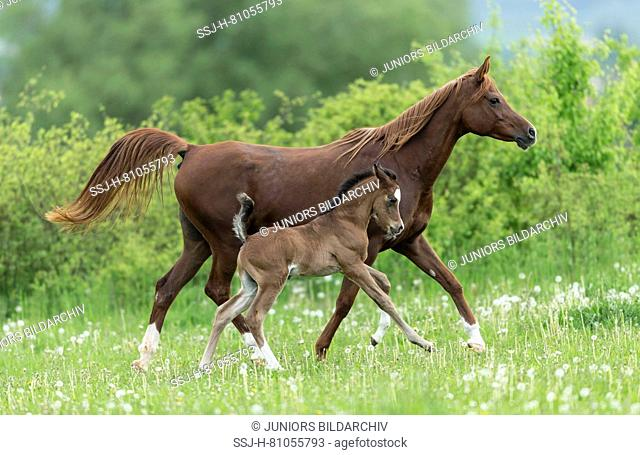 Purebred Arabian Horse. Chestnut mare with foal trotting on a pasture with blowballs. Germany
