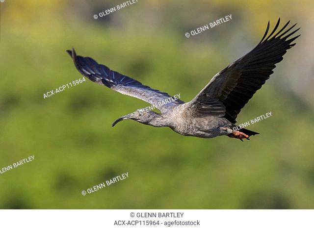 Plumbeous Ibis (Theristicus caerulescens) flying in the Pantanal region of Brazil