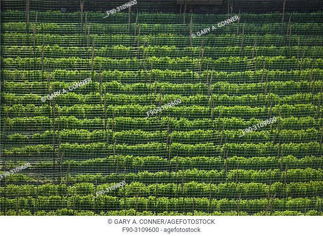 Field of climbing beans, Salobreña, Granada, Spain