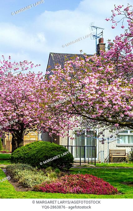 Kylsith, North Lanarkshire, Scotland, UK. Japanese cherry trees blooming in the village of Scotland on a beautiful, sunny day
