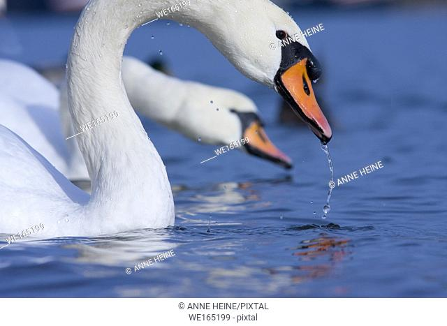 Two swans with waterdrops on feathers on River Rhine in Bonn, Germany