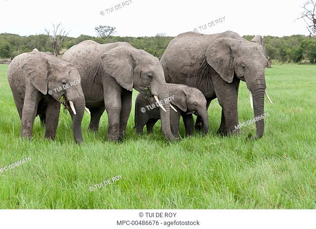African Elephant (Loxodonta africana) group grazing, Ol Pejeta Conservancy, Kenya