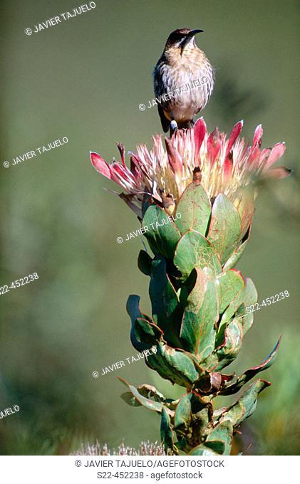 Sugarbird (Promerops cafer)