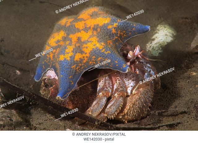 Alaskan hermit crab (Pagurus ochotensis) hiding under the Starphish Asterina (patiria pectinifera) Far East, Sea of Japan, Russia