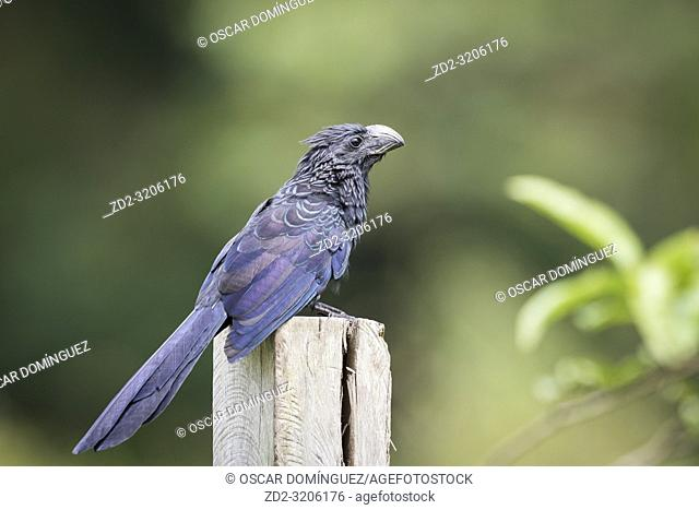 Groove-billed Ani (Crotophaga sulcirostris) perched on wooden post. Alajuela province. Costa Rica