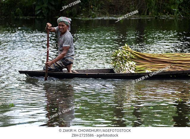 DHAKA, BANGLADESH - AUGUST 05 : Farmers processing water lilies from a lake for sell them in market near Dhaka, Bangladesh on August 05, 2016