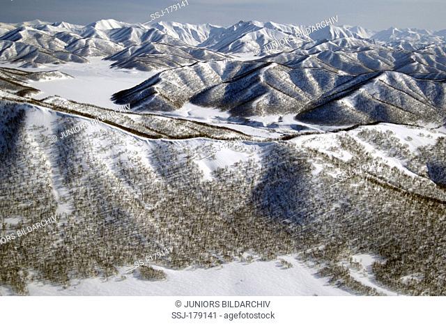 Stone Birch, Erman's Birch, Russian Rock Birch (Betula ermanii). Winter mountains with Erman birch forest cover. Kronotsky Zapovednik, Kamchatka, Russia