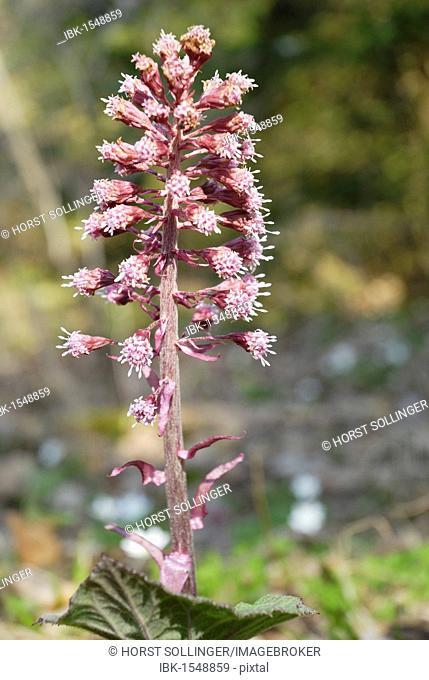 Pink inflorescence of a butterbur (Petasites hybridus petasites officinalis) in spring, Leitzachtal, Bavaria, Germany, Europe