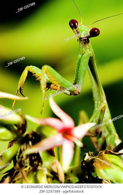 Cose up of a green praying mantis
