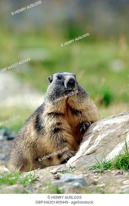 France, Alpine Marmot, Marmota marmota