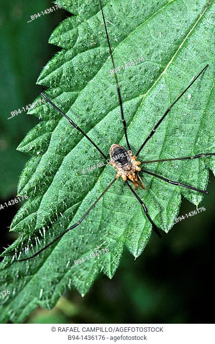 Harvestman spider (Leiobunum sp., fam. Sclerosomatidae), Osseja, Pyrenees-Orientales, Languedoc-Roussillon, France