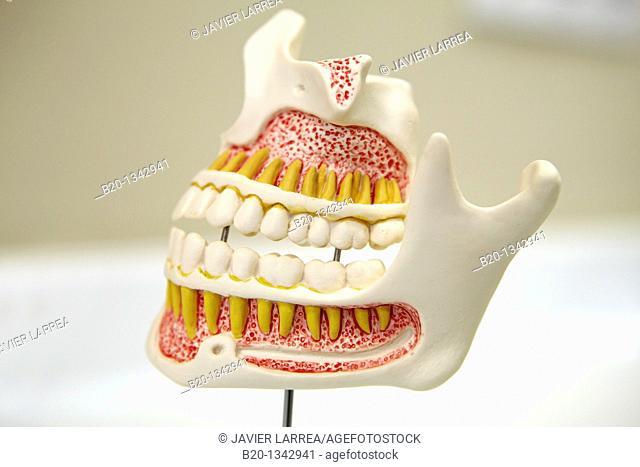 Dentition model, dental clinic, Eibar, Gipuzkoa, Euskadi, Spain