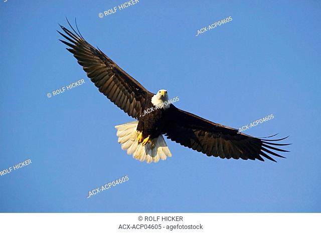 Bald Eagles, Canada